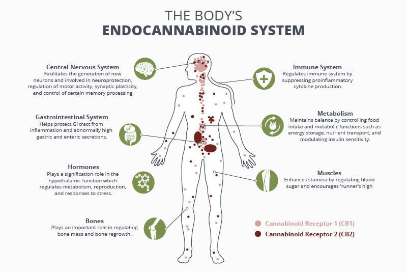 How the Endocannabinoid System Works
